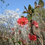 rosier japonais