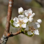 fleurs de cerises