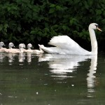 cygnes et cygnaux sur le Loiret