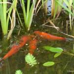 poissons, jardin d'eau