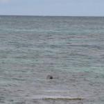 Tête de phoque Bretagne îles aux Moines