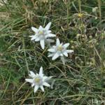 edelweiss montagne Mont Morgon Alpes