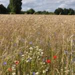 6 Champ de blé à Olivet Val de Loire