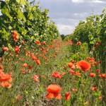 7 coquelocots pieds de vigne Olivet Val de loire