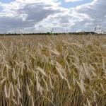 champ de blé Olivet
