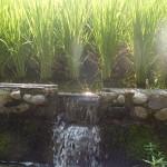 Irrigation pour les champs de riz