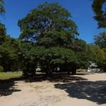 L'arbre aujourd'hui parc du Château d'Hiroshima