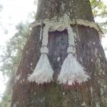 L'arbre le plus ancien