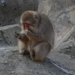 Le Penseur .... Au Zoo