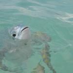 Bonjour vous dit le poisson de la mer Caraïbes