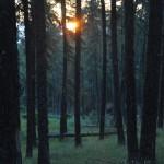 Percée du soleil à travers les mélèzes