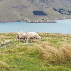 Moutons dans les hauteurs