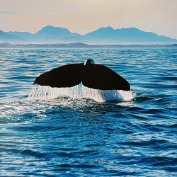Baleine plongeant vers les fonds
