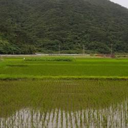 Riziere île Tokashiki