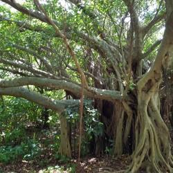 Arbre jardin château Shurijo Okinawa