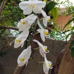 Orchidées Okinawa