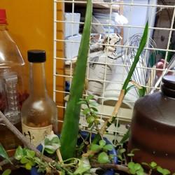 Plante miraculeuse  Aloibera