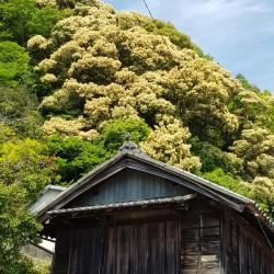 Maison traditionnelle, arbres en fleur