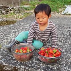 Genia ou Tangi ramassant des fraises