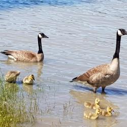 Outardes et leurs petits sur le bord Fraser River